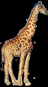 giraffe2%20B_edited.png