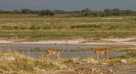 Geparden: Ute von Ludwiger
