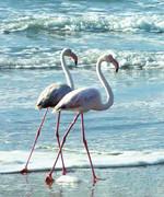 Flamingos k.jpg