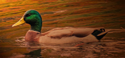 Duck on Moody Pond