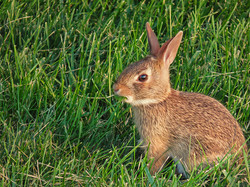 Rabbit in my backyard