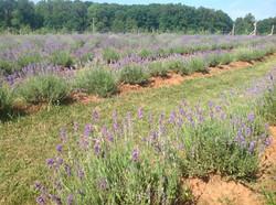 lavender farm 2
