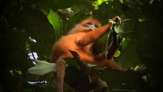 Bornéo: les seigneurs de la forêt