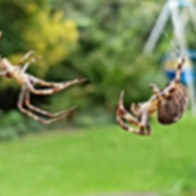 Two Spiders On Web In Backyard