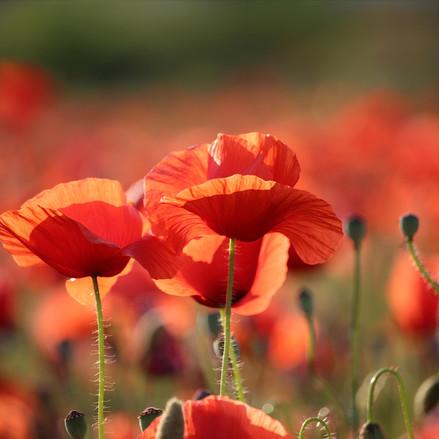I MILLE PAPAVERI ROSSI DI MAGNAGO - il Gusto e la Salute immerso in un mare di fiori rossi