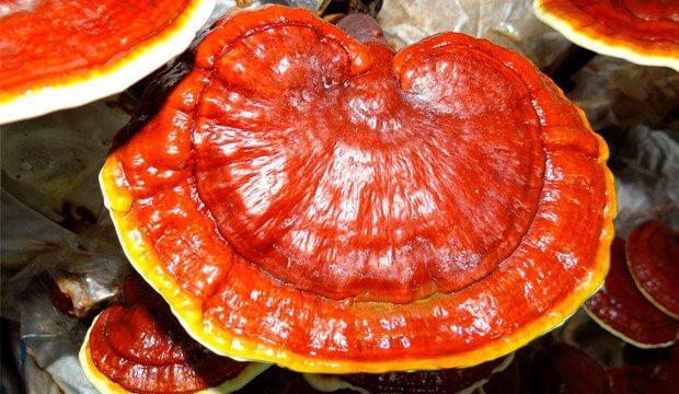 El hongo reishi y sus propiedades