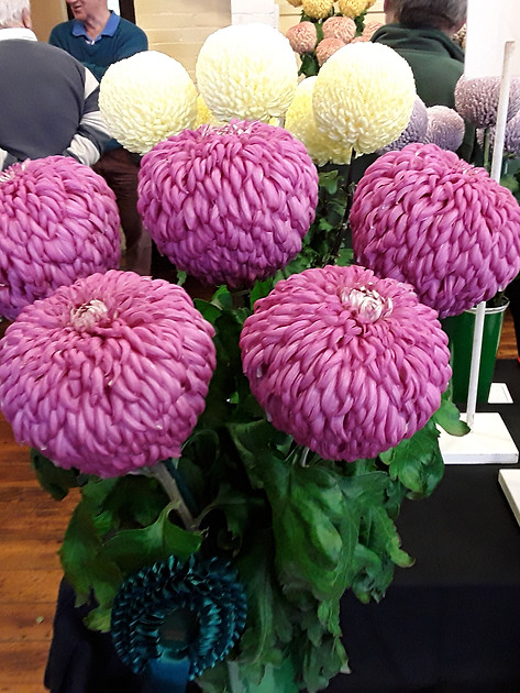 2019 Late Chrysanthemum Show - Best Exhibit in Open classes