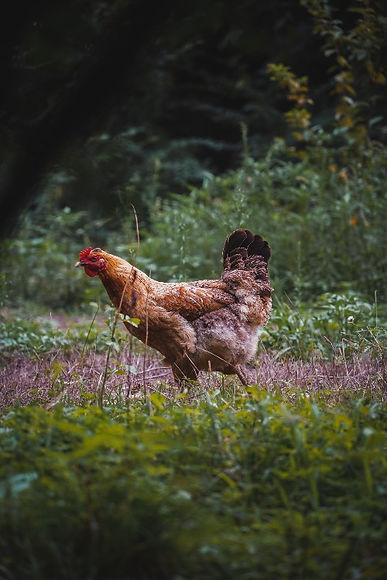 a_free_wild_chicken.jpg
