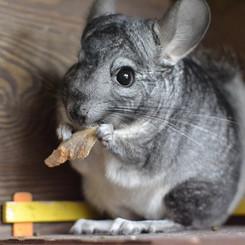 chinchilla-food.jpg