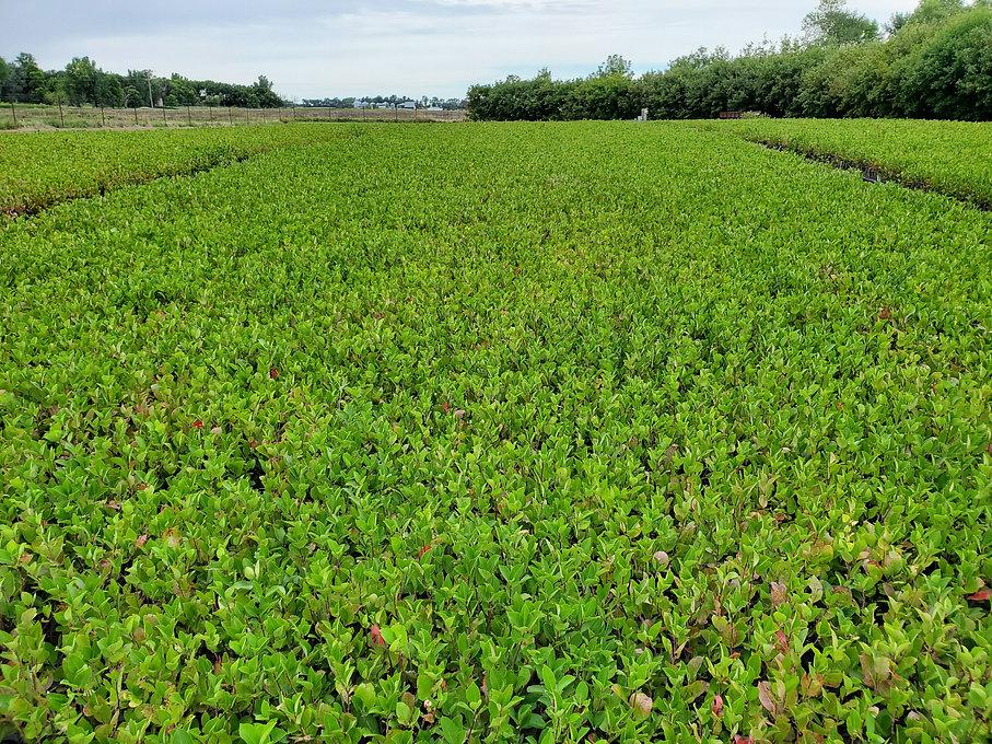 aronia-berry-propagated-field