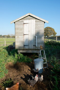 Chicken-Shed
