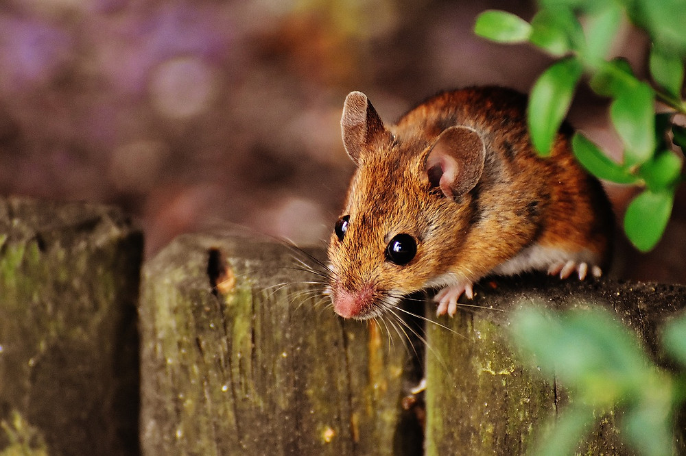 Wood mouse looking over wooden edging