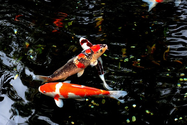 Goldfish in a pond.