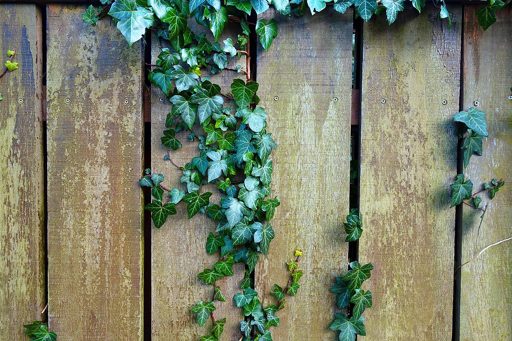Ivy growing through a wooden fence