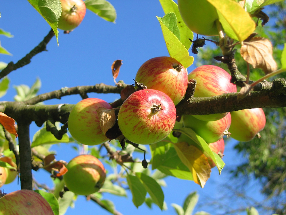 Apples on an apple tree with a bright blue sky behind.