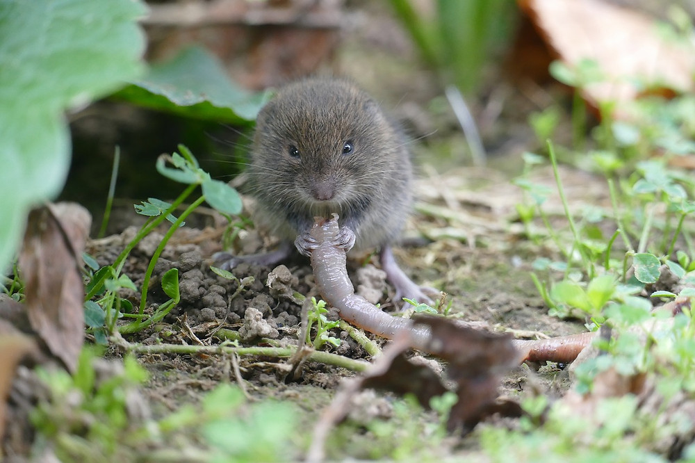 Vole eating an earthworm.