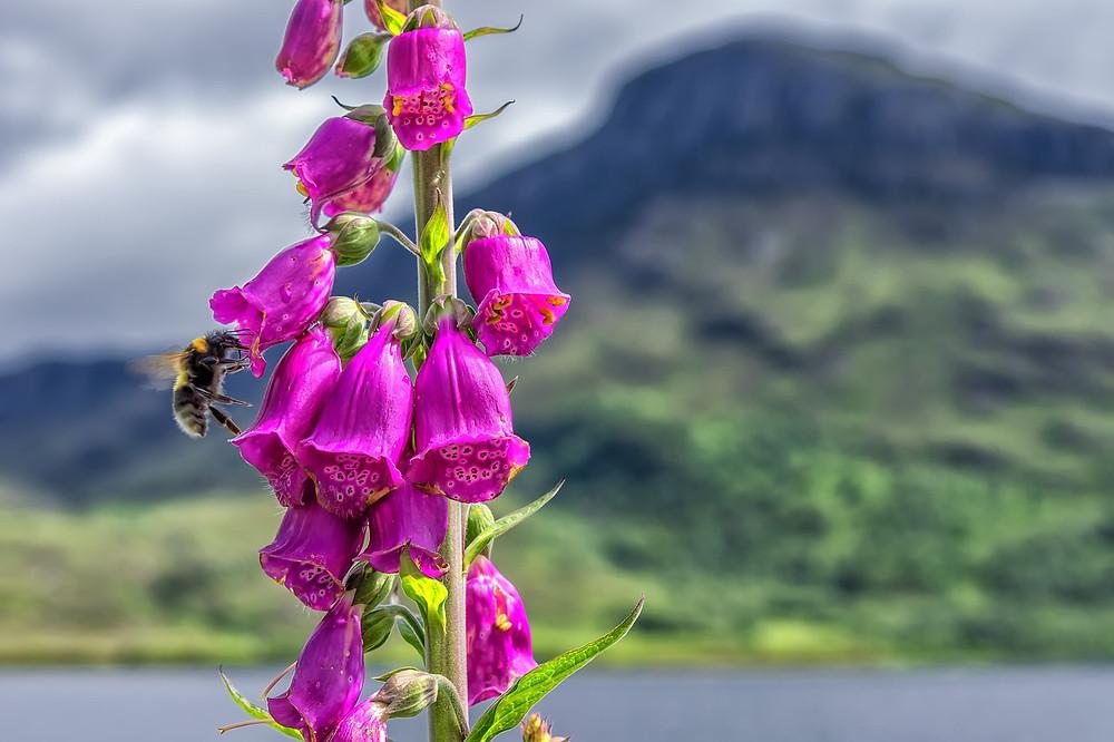 Bee approaching a foxglove