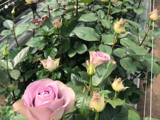 Timing Is Everything When It Comes to Harvesting Garden Roses