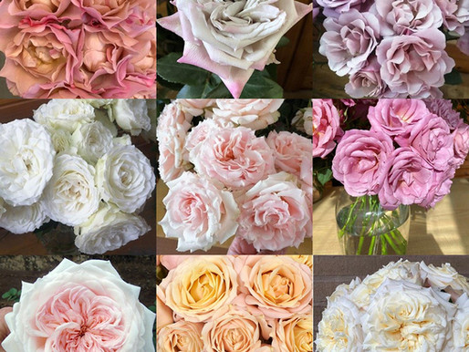Alexandra Farms Introduces Nine Garden Rose Varieties to Our Diverse Collections
