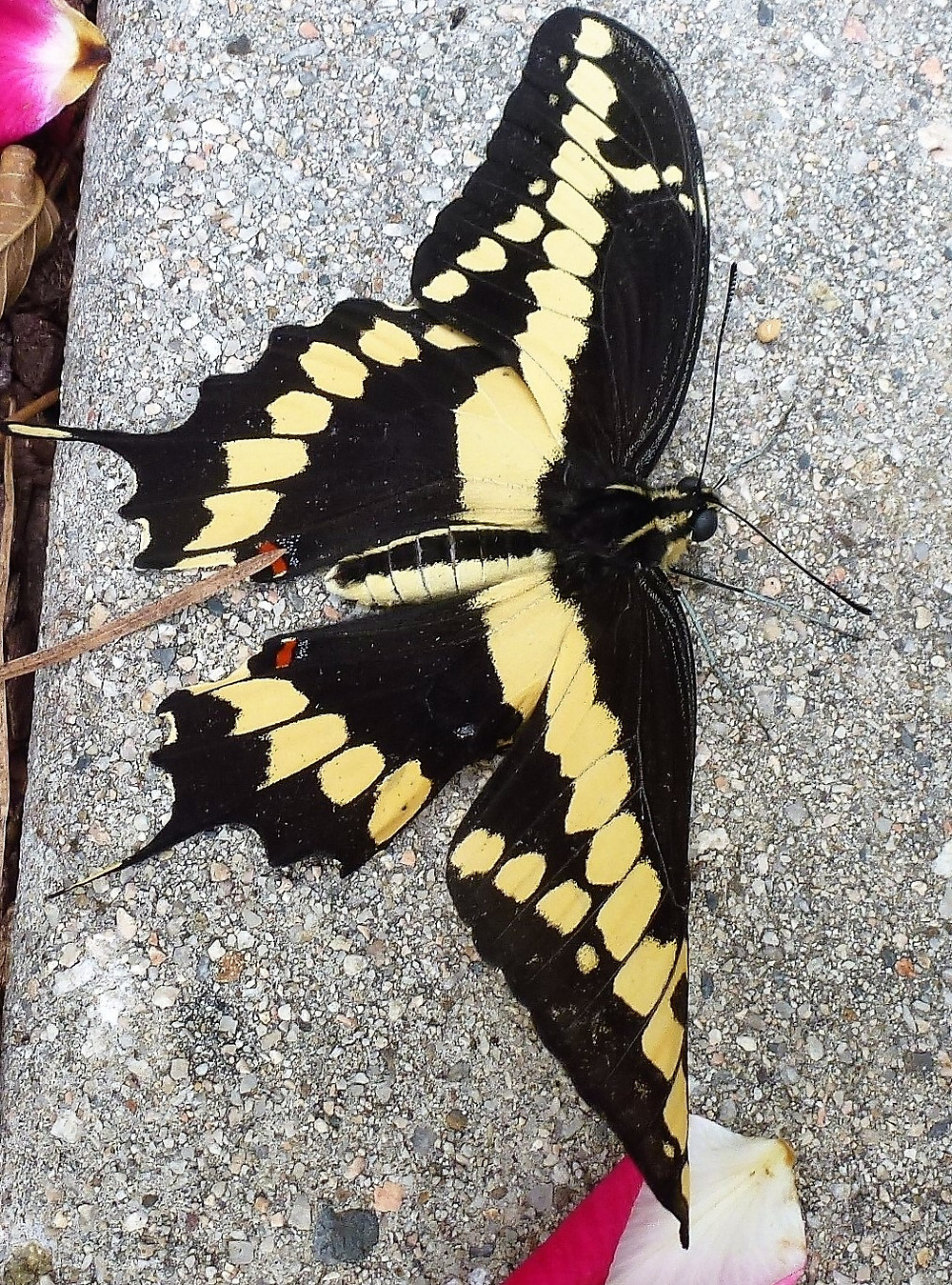 Black Western Tiger Swallow butterfly