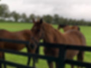 horses at Irish Stud Farm