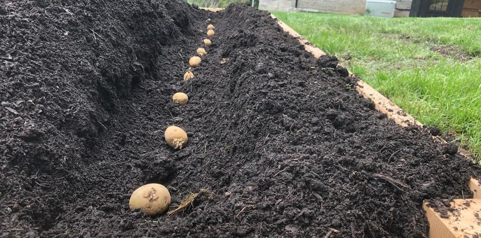 Planting some Dakota Pearl potatoes