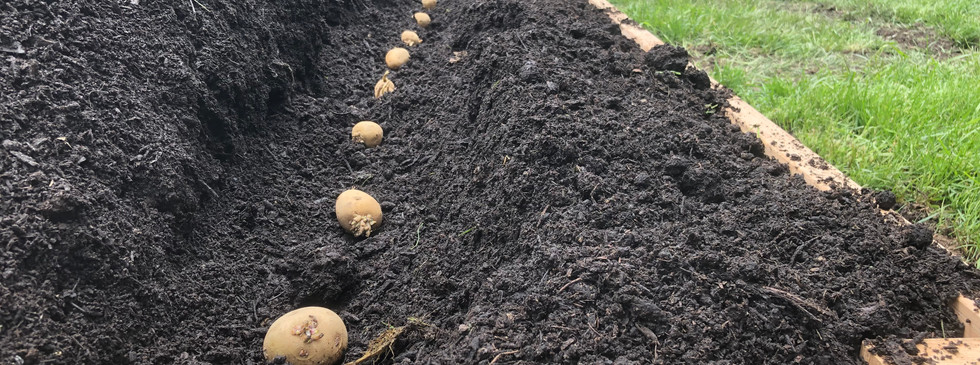 Planting some Dakota Pearl potatoes