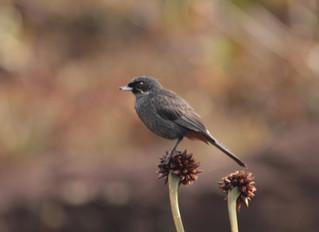 Endêmicos do Mundo Perdido (Monte Roraima e Observação de Aves)
