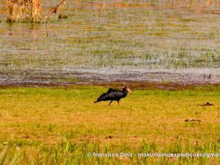 Observação de Aves em Roraima Caracaraí, Tepequém e Pacaraima  08/02 a 16/02 (Grupo Privado)