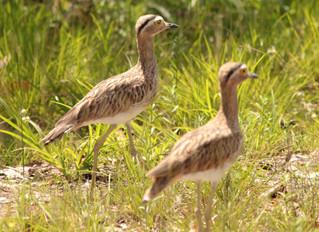 Observação de Aves em Roraima - 8 dias