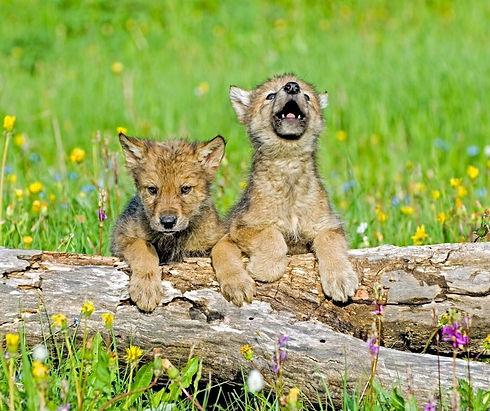wolf cub.jpg