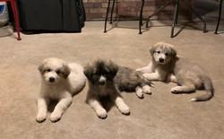 puppies3