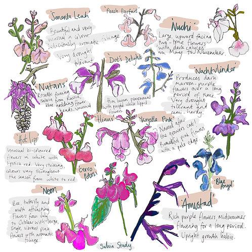 Salvia Study greetings card