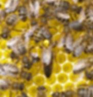 yellow queen.jpg