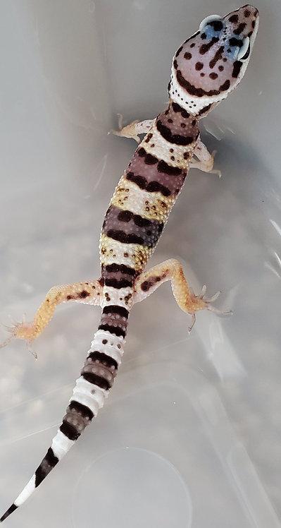 CB Mack Snow TSF Leopard Gecko Hatchling
