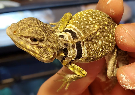 Lightning Yellow Male Eastern Collard Lizard