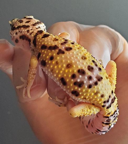 CB '20 Eclipse TSF Leopard Gecko