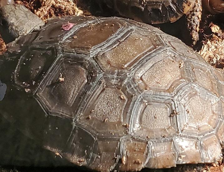 CB '17 Burmese Black Mountain Tortoise
