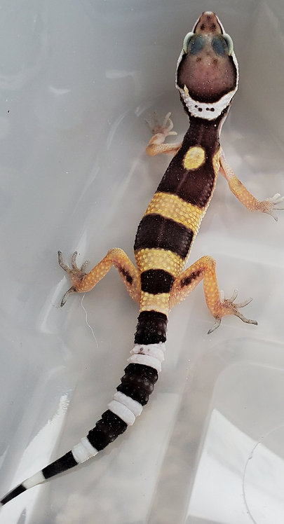 CB TSF Leopard Gecko Hatchling