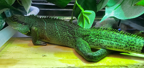 CB'19 Male Chinese Water Dragon (Adopted)