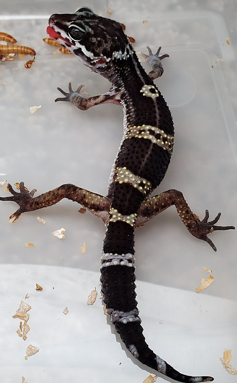 CB Female 87.5% Black Night LOW HET Tremper Albino Leopard Gecko