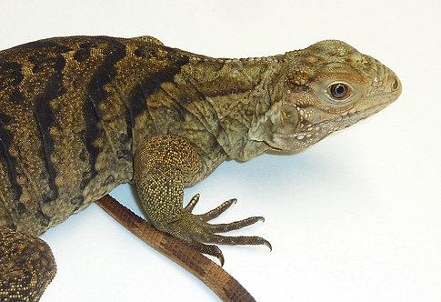 CB 18in. Lewisi X Cyclura Iguana