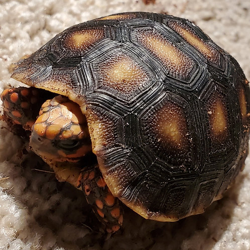 CB '18 Northern Cherry x Red-footed Tortoise