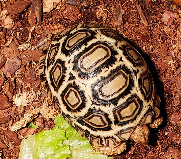 CB '19 High White Leopard Tortoise