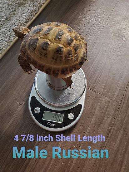 4 7/8 Male Russian Tortoises