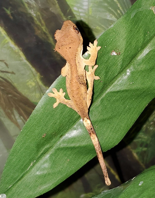 CB Dalmatian Crested Gecko Hatchling (Unsexed)