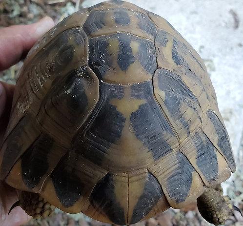 1.2 Western Hermann's Tortoise Group