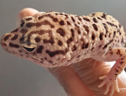 CB '18 Male Snow Leopard Gecko (Proven)