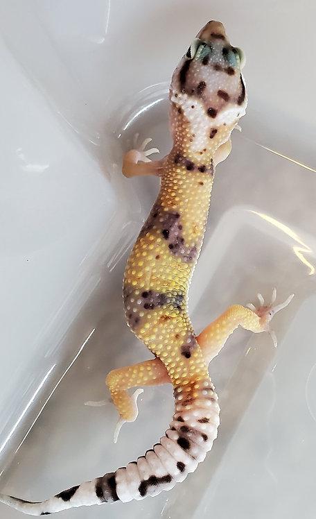 CB Eclipse TSF Leopard Gecko