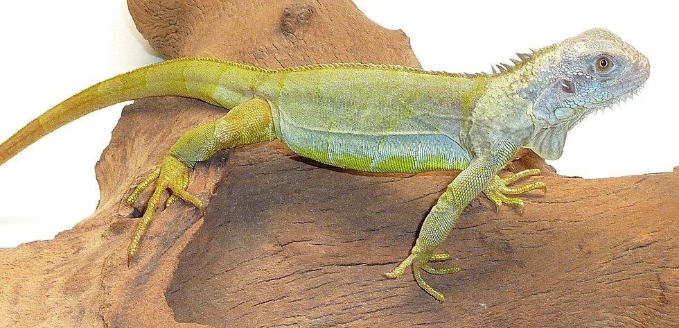 "CB '20 19"" Hypo Translucent Iguana"